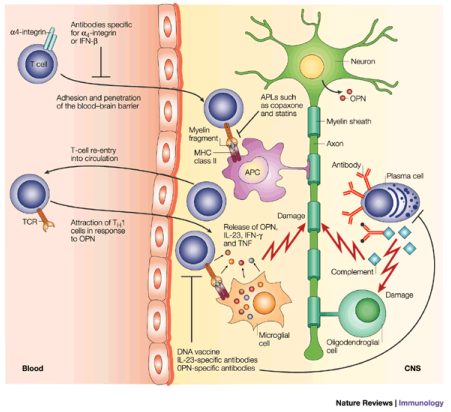 Multiple Sclerosis Cell Bio - Cell Biology of Disease and Exercise